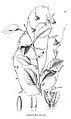 Passiflora galbana00.jpg