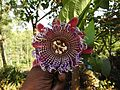 Passiflora seemannii-2-shevaroy nursery-yercaud-salem-India.jpg