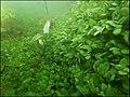 """Paysage subaquatique Subaquatic landscape rivière """"Les Baillons"""" à Enquin-sur-Baillons F Lamiot 08.jpg"""