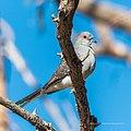 Peaceful dove Burke River Boulia Queensland P1030969.jpg