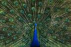 Peacock Male.jpg