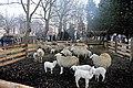 Pecore a Cardè.jpg