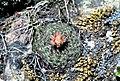 Pediocactus simpsonii fh 25 4 COL B.jpg