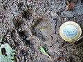Pegada de onça parda (Puma concolor) na trilha Temimina Jani Pereira (38).jpg