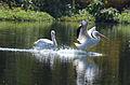 Pelícano Blanco, American White Pelican, Pelecanus erythrorhynchos (12510067063).jpg