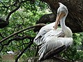 Pelican by Kandy Lake - Kandy - Sri Lanka (13949489167).jpg