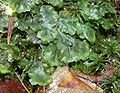 Pellia epiphylla 200108.jpg