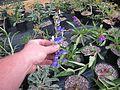 Penstemon cyananthus hybrids - Flickr - peganum.jpg