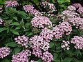 Pentas Cornia from Lalbagh flower show Aug 2013 8266.JPG