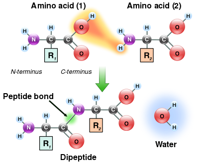 Two amino acids are shown next to each other. One loses a hydrogen and oxygen from its carboxyl group (COOH) and the other loses a hydrogen from its amino group (NH2). This reaction produces a molecule of water (H2O) and two amino acids joined by a peptide bond (-CO-NH-). The two joined amino acids are called a dipeptide.