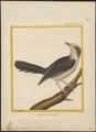 Perisoreus canadensis - 1700-1880 - Print - Iconographia Zoologica - Special Collections University of Amsterdam - UBA01 IZ15700027.tif