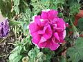 Petunia hybrida floreoleno caprice-anna park-1-yercaud-salem-India.JPG