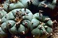Peyote Cactus.jpg