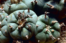 Close up of a peyote cactus growing in the wild.
