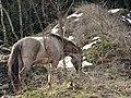 Pferd - panoramio (2).jpg