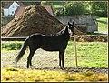 Pferd - panoramio (3).jpg