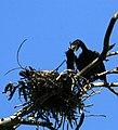 Phalacrocorax auritus feeding a chick.jpg