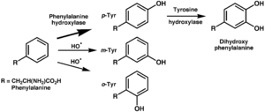 Tyrosine - Enzymatic oxidation of tyrosine by phenylalanine hydroxylase (top) and non-enyzmatic oxidation by hydroxyl free radicals (middle and bottom).