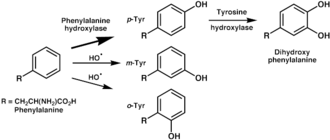 Tyrosine - Enzymatic oxidation of tyrosine by phenylalanine hydroxylase (top) and non-enyzmatic oxidation by hydroxyl free radicals (middle and bottom).