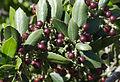 Phillyrea latifolia - Green olive tree - Akçakesme 01.jpg