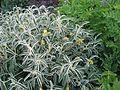 Phlomis angustifolia - Flickr - peganum (1).jpg