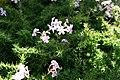 Phlox paniculata David 8zz.jpg