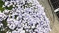 Phlox subulata at Yamasa Kamaboko Yumesaki Plant in 2014-4-27 No,5.JPG