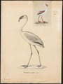 Phoenicopterus minor - 1700-1880 - Print - Iconographia Zoologica - Special Collections University of Amsterdam - UBA01 IZ17600017.tif