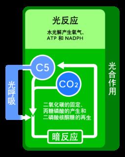 插圖1:光呼吸與光合作用。其中C5代表 1,5-二磷酸核 ...
