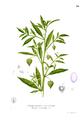 Physalis angulata Blanco1.50.png