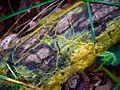 Physarum polycephalum plasmodium.jpg