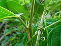 Pièces foliaires de Passiflora laurifolia.jpg