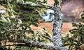 Picea sitchensis, Fourmile Creek, Coos Bay, Oregon 3.jpg
