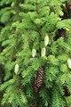 Picea x fennica 77635915.jpg