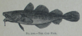 Picture Natural History - No 200 - The Cod Fish.png
