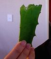 Piece of aloe vera.jpg