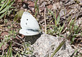 Pieris rapae - Small white 02.jpg