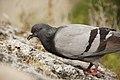 Pigeon in Monaco.jpg