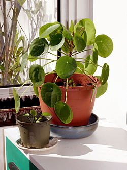 Pilea peperomioides Chinese money plant.jpg