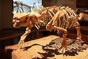 Skelettrekonstruktion von Pinacosaurus