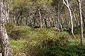 Pinus-halepensis-forest.JPG