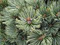 Pinus culminicola2.jpg