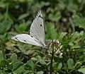 Pioneer or Caper White (Anaphaeis aurota) I IMG 6405.jpg