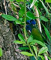 Pionus menstruus -Baltimore Aquarium, Maryland, USA -two-8a.jpg
