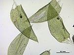 Plagiothecium curvifolium (f, 144809-474434) 7034.JPG