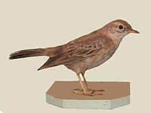 Plain-backed Pipit specimen RWD.jpg