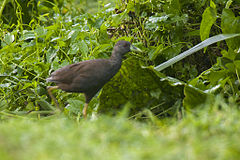 Plain Bush-hen.jpg