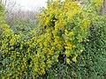 Plante grimpante inconnue à fleur jaune 1.jpg