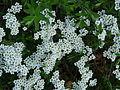 Plante inconnue fleurs blanches (2).JPG
