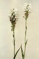 Platanthera blephariglottis var blephariglottis WFNY-038.jpg